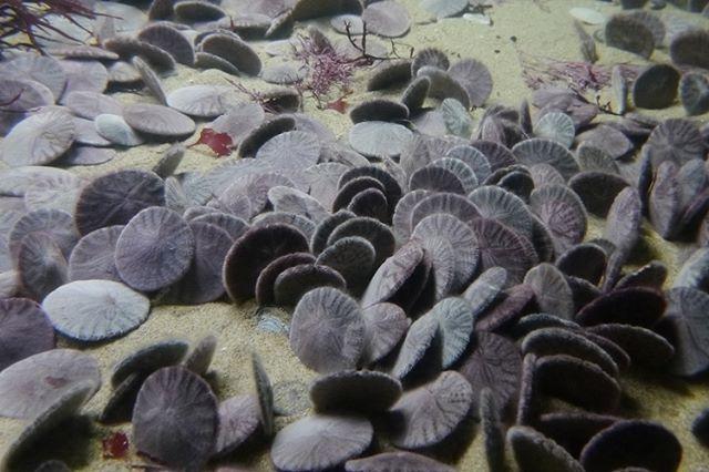 Species : Eccentric sand dollar (Echinarachnius excentricus) 種 : エキセントリックサンドダラー  Photo : Monterey Bay Aquarium, Monterey, CA, U.S.A.  #SeaUrchin #Echinoderm #Clypeasteroida #Dendrasteridae #EchinarachniusExcentricus #EccentricSandDollar #MontereyBayAquarium #Aquarium #Monterey #ウニ #棘皮動物 #タコノマクラ目 #Dendrasteridae科 #エキセントリックサンドダラー #モントレーベイ水族館 #水族館 #montereylocals - posted by namakos https://www.instagram.com/namakos777 - See more of Monterey Bay at http://montereylocals.com