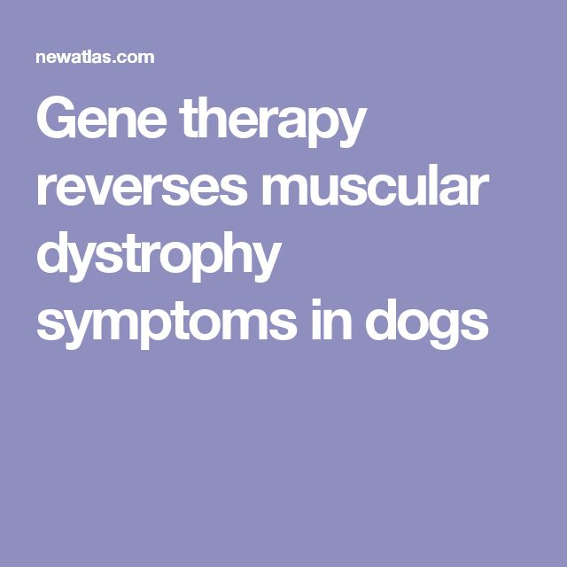 Gene therapy reverses muscular dystrophy symptoms in dogs