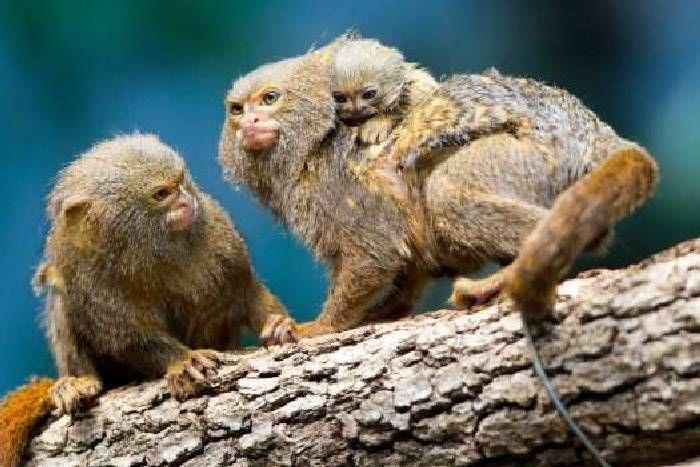 Pygmy Marmoset Monkey's with baby  (DwergzijdeAapje)