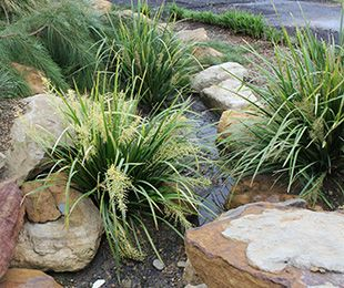 Lomandra hystrix Katie Belles™ ; flowers from September to November, sometimes repeat flowering in autumn;  cut back to 30cm above the ground approx. every 3 years Size: 1.5m - 1.8m high x 1.2m - 1.5m wide. Uses: Mass planting for wet and dry landscapes, the edge of watercourses, drainage channels,  or specimen planting. Position: Full sun to part shade. Tolerates drought, cold, and coast. Best suited to moist soils.