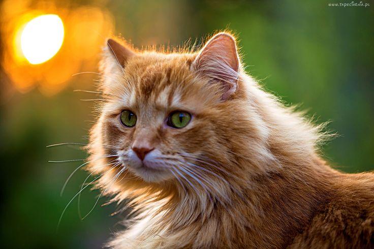 Rudy, Kot, Norweski, Leśny, Zielone, Oczy