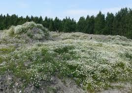 Resultado de imagen de hierba timotea