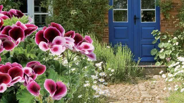 pelargonie vertreibt wespen und m cken windows full. Black Bedroom Furniture Sets. Home Design Ideas