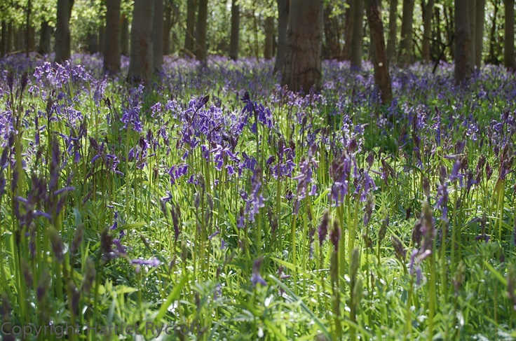 Bluebells in Whichford Woods. OK I know it isn't a meadow...