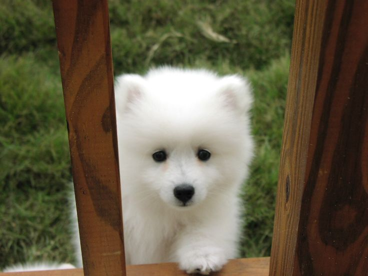 Great Spitz Canine Adorable Dog - 5f90d7a79538b5a48b0b725946719cab--samoyed-puppies-puppys  2018_109638  .jpg