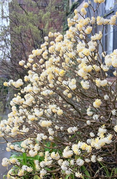 Buy paper bush Edgeworthia chrysantha: Delivery by Crocus