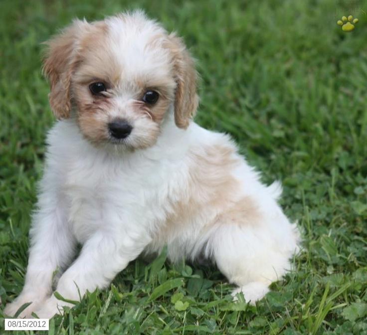 Cavapoo Puppies Breeder in Utah USA