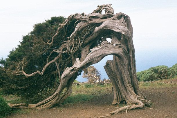 "El Arbo de la Sabina is the famous, ancient Juniper tree. In Spanish, ""Sabina"" mean Juniper. Like the famous and interesting Dragon Tree, it is located on  the Spanish Canary Island, El Hierro.  The trees are well known for constantly being deformed by wind. This is how they get their famous deformed appearance. Although the trunk of the tree stands straight up, the branches cascade back to the ground."