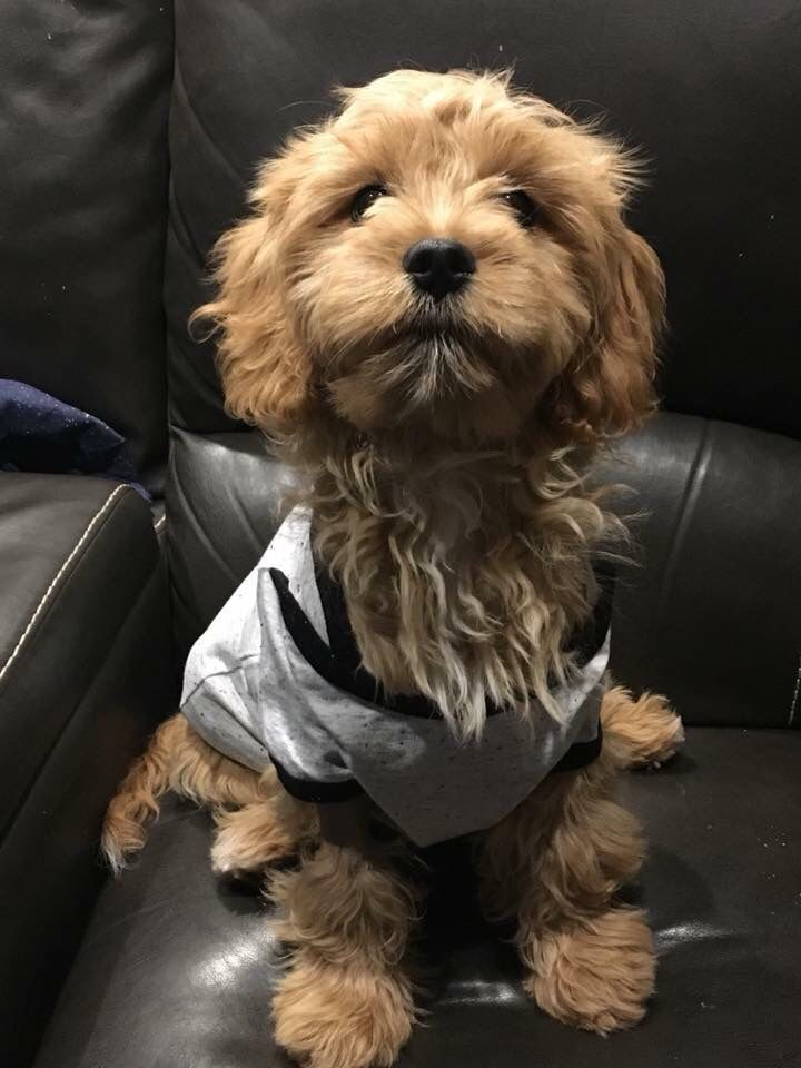 Wearing The Onesie With Pride Doodle Puppy Goldendoodle Puppy For Sale Puppies