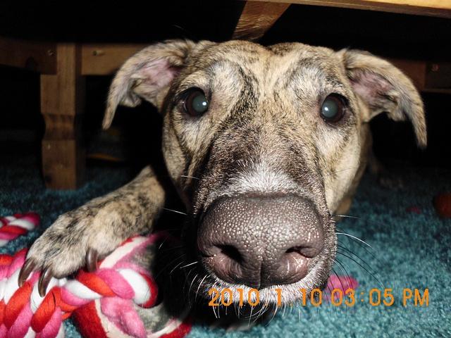 Molly the Greyhound-Bull