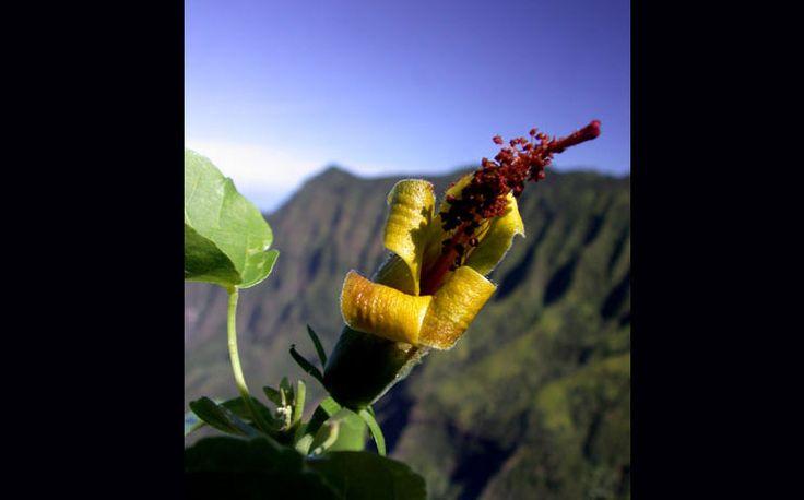 plantas-em-extincao-hibiscadelphus-woodii-localizacao-havai