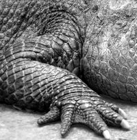 13 best ecailles images on pinterest reptiles - Dessiner un crocodile ...