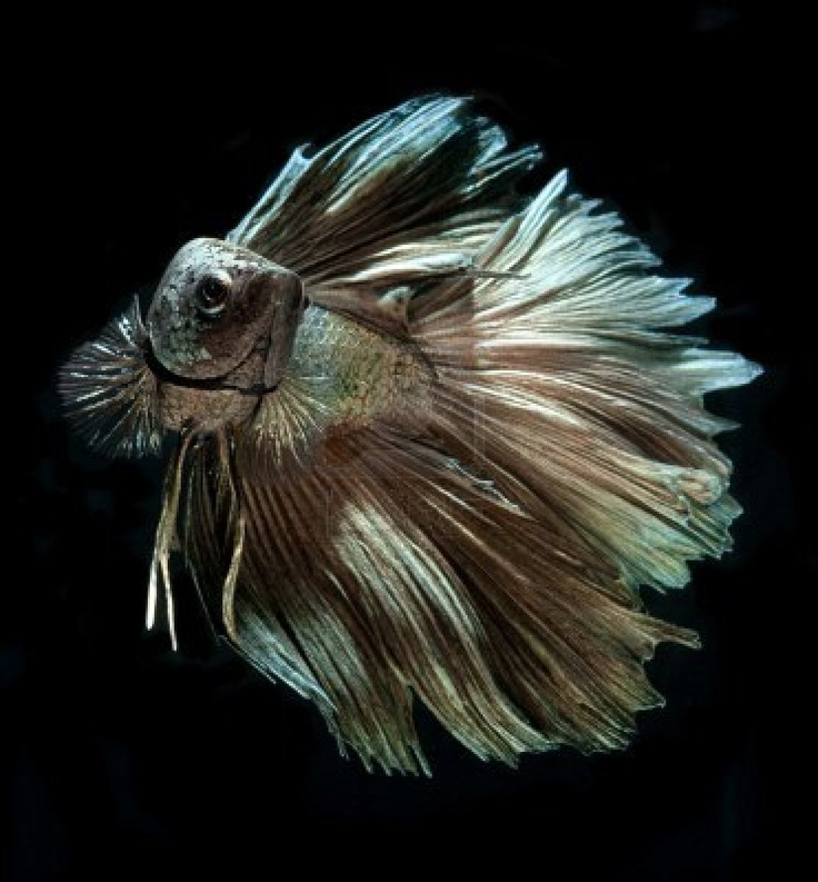134 best images about fish betta fan tail on pinterest for Best betta fish