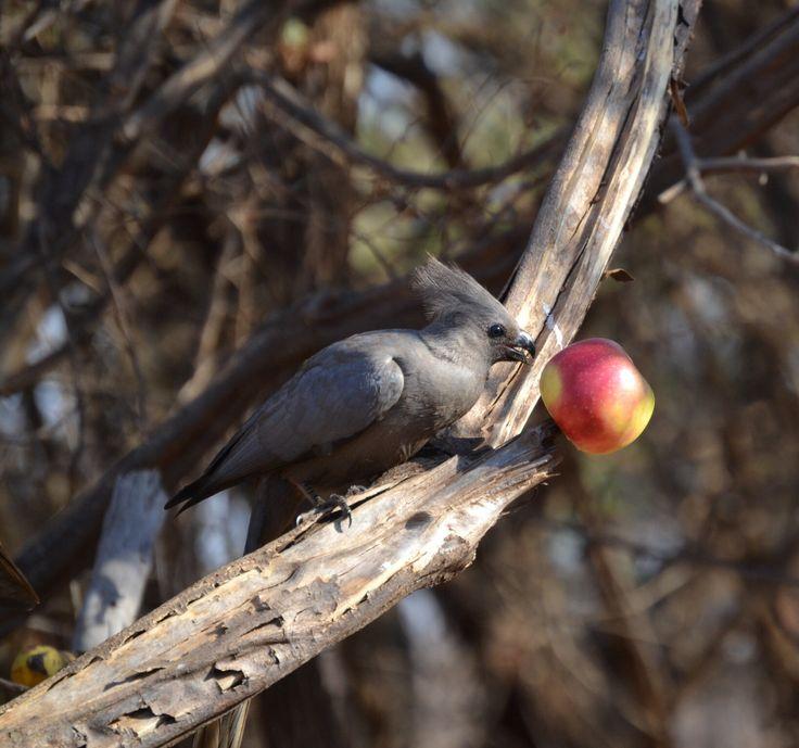Kwevoel/Grey Lourie at Sondela