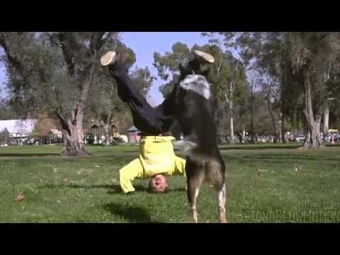 I PROFESSIONISTI DEL PARKOUR. I cani dell'addestratore Omar Von Muller sono molto famosi e apprezzati nel mondo del cinema e della pubblicità. In questo video il cane Jumpy, uno degli allievi più talentuosi, incontra un professionista del parkour, Alex Duong: i due si lanciano in spericolate acrobazie di coppia che non possono non stupire sia gli amanti dei cani che gli appassionati del parkour.