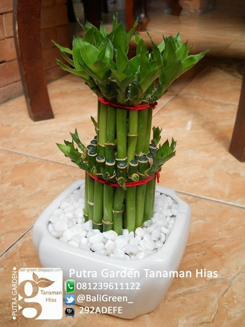 Tanaman hias Bambu Rejeki termurah di denpasar bali - Lucky Bamboo for sale at Denpasar Bali