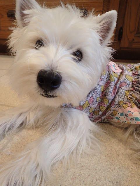 Kinley Westie Terrierific Tuesday Westie Puppies Dog Blog Westies