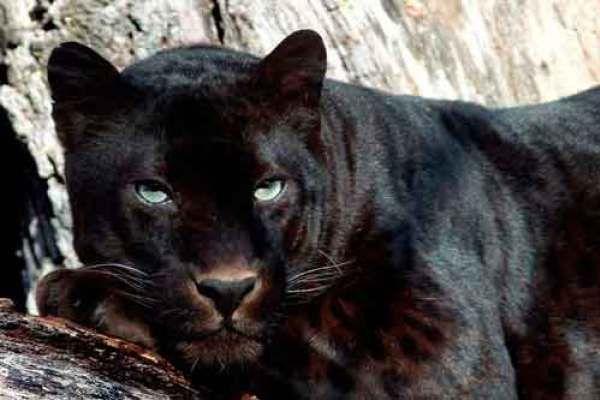 Resultado de imagem para jaguar negro