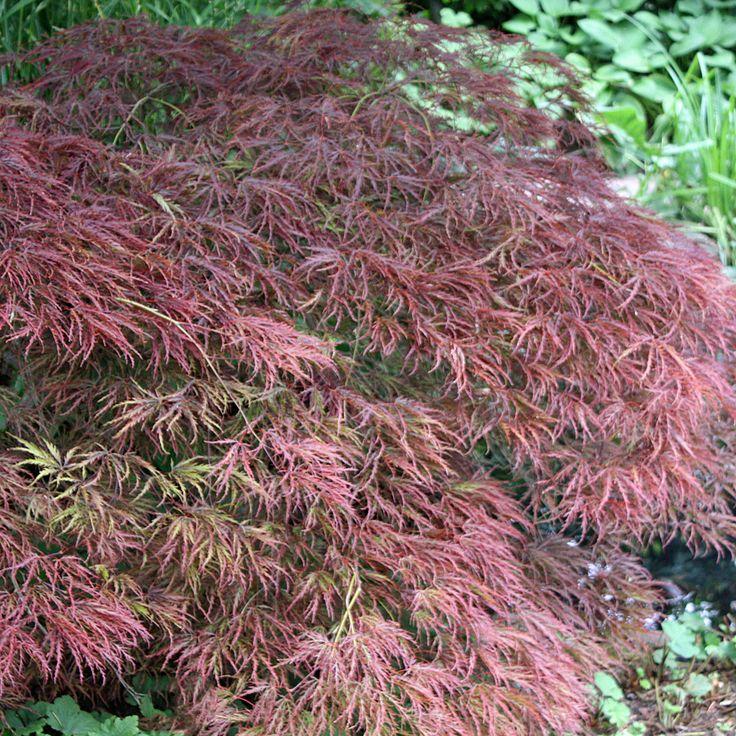 Roter Schlitzahorn - Acer palmatum Dissectum Garnet Typisch für diesen Zierahorn sind die sehr fein geschlitzten dunkelroten Blätter. daher wird dieser Ahorn auch Schlitzahorn genannt. Der breite Wuchs wird im Alter (nach 10-15 Jahren)...