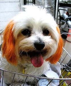pet grooming services and fur dyeing for dogs