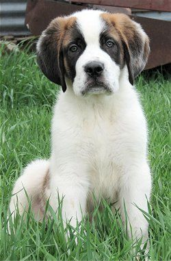 Barney, the short haired Saint Bernard puppy at 12 weeks old