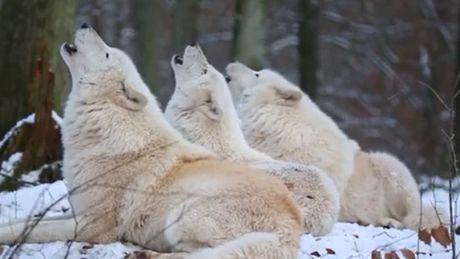 Le hurlement des loups