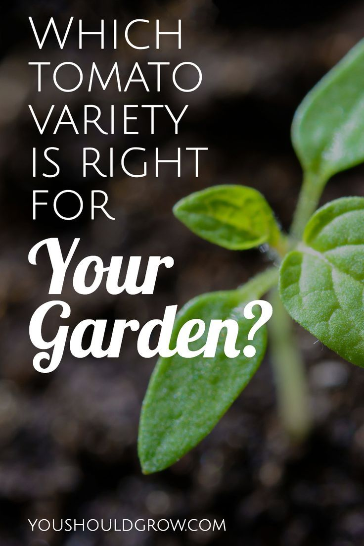 Tomato Varieties Differ In The Way They Grow And Taste Read To Learn How Choose Best Type Of For Your Garden