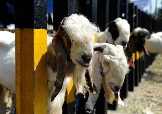 Eid Al-Adha: Goats are lined up for sale at a livestock market in Indonesia during Eid Al-Adha