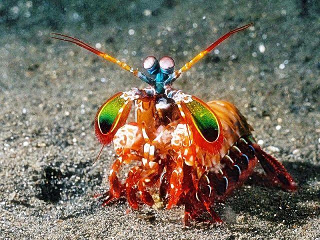 5. Павлиновая креветка-богомол (640x480, 435Kb)