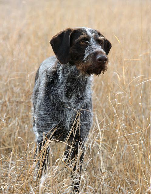 Pointing Dog Blog: The Deutsch Drahthaar/German Wirehaired Pointer
