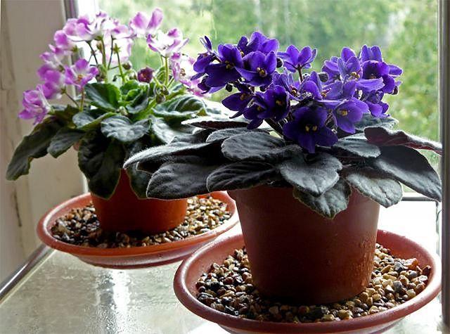 Ha imádjuk a fokföldi ibolyákat, amelyek színpompás virágaikkal beragyogják a konyha és szobák párkányait, akkor most megtudhatunk pár tuti tippet,...