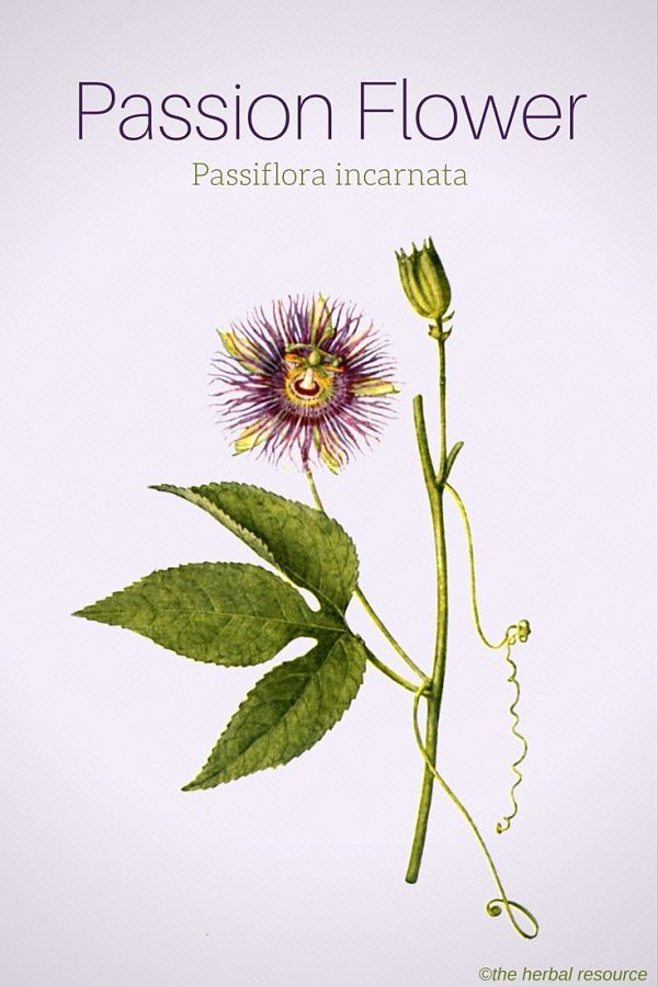 Passion Flower Health Benefits And Side Effects Passion Flower Herbalism Herbal Medicine