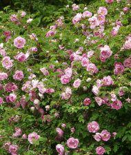 Rosa Pimpinellifolia-ryhmä 'Poppius' - suviruusu