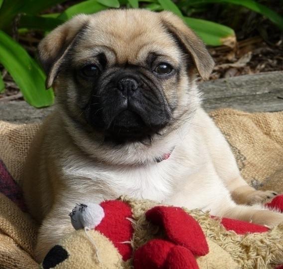 Maltese Pekingese Mix Cutest Dogs Pinterest