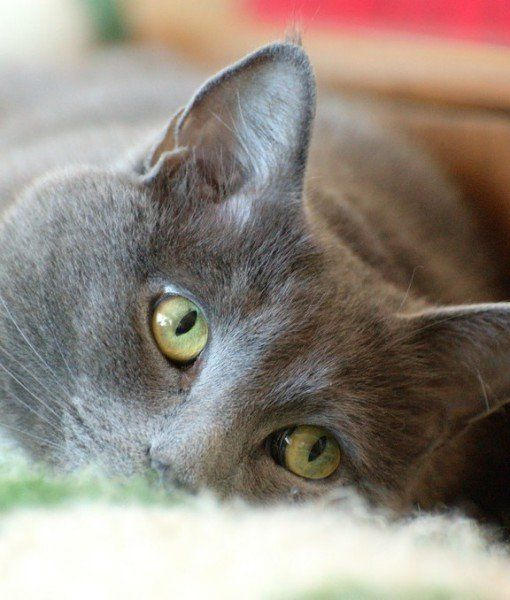 Russian Blues aren't fans of strangers.. but they are faithfully loyal to the family & especially the one who feeds them.