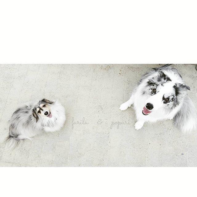 #ボーダーコリー #ボーダーコリーブルーマール #ブルーマール #ブルーマールボーダーコリー #ミニチュアダックス #ミニチュアダックスフンド #シルバーダップル #愛犬 #家族 #お散歩 #公園 #フリル #ポプリ #bordercollie #bordercolliebluemerle #bluemerle #bluemerlebordercollie #dachshund #miniaturedachshund #silverdapple #dogs #dog #hurtta