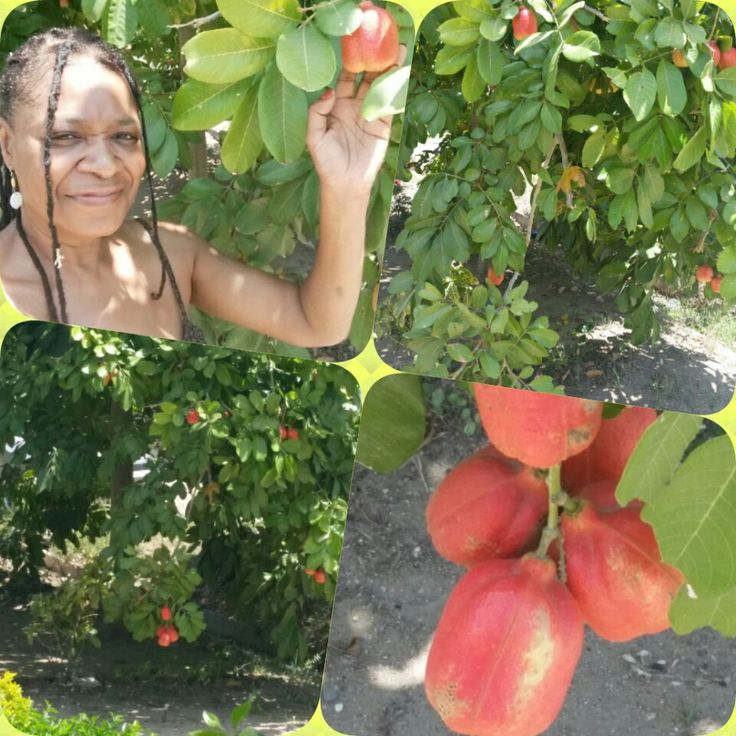 Ackee tree right outside my door..when ready..Ackee & Saltfish!