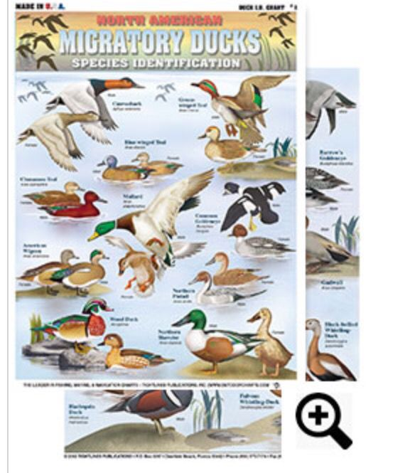 Duck Identification Chart #1- Canvasback, Green-winged Teal, Blue-winged Teal…