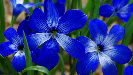 Blue Flowers Names And Pictures Cyanocrocus Chilean