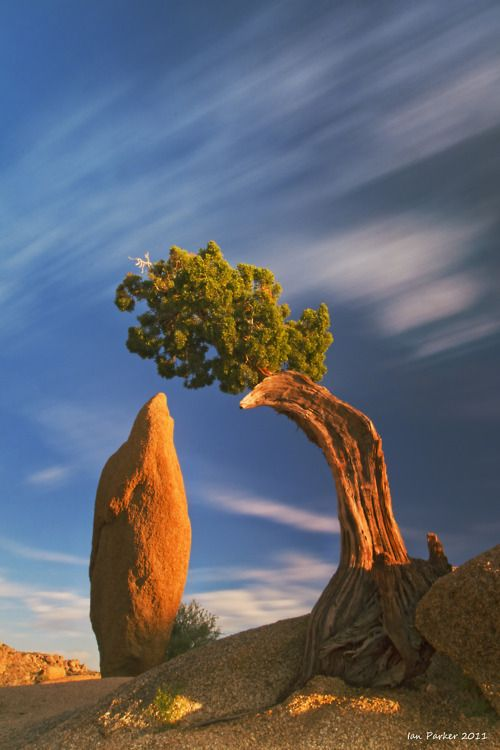 juniper and monolith,  joshua tree national park http://www.liberatingdivineconsciousness.com