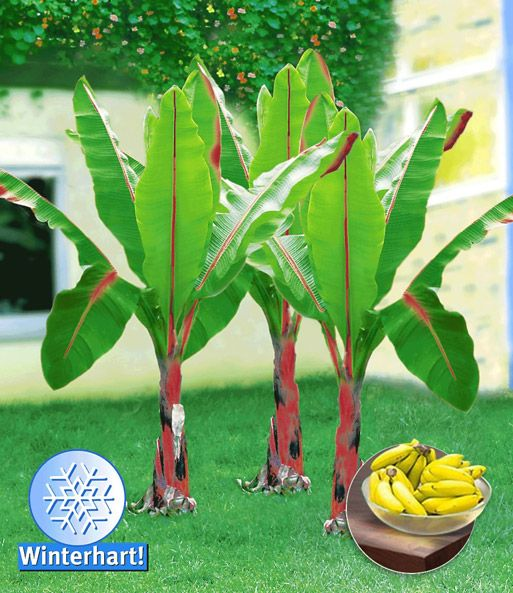 Winterharte Banane 'rot'