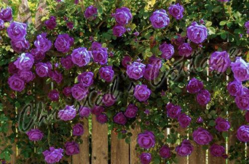 """8""""PURPLE CLIMBING ROSE PLANT FRAGRANT FLOWERS FROM MAY TO SEPT 