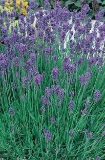 """Lavender, English, """"Munstead,"""" from southernexposure.com. Plant some in orchard to attract honeybees."""