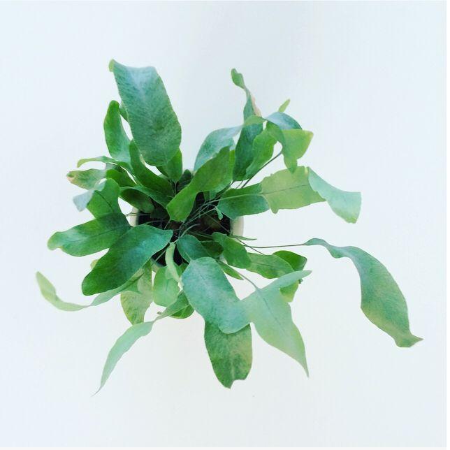 """Blauwvaren ~ Zinkvaren ~ Fern ~ Phlebodium """"blue star"""" De Phlebodium staat het liefste op een lichte standplaats, maar kan niet tegen de volle zon. Eens in de week water geven aan de zijkant van de plant. De plant krijgt een kaal hart als de plant in het midden water krijgt. Ook af en toe benevelen is aan te raden. Te veel en te koud water kan bruine bladeren veroorzaken. Het is een sterk soort varen, heeft geen bladval en blijft die onmiskenbare grijsblauwe kleur behouden."""