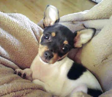 Miniature Rat Terriers - Dogs -  Tickle