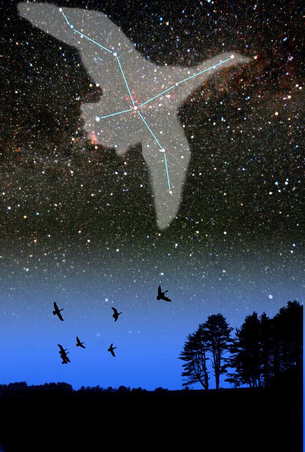 My favorite constellation! Cygnus the Swan!