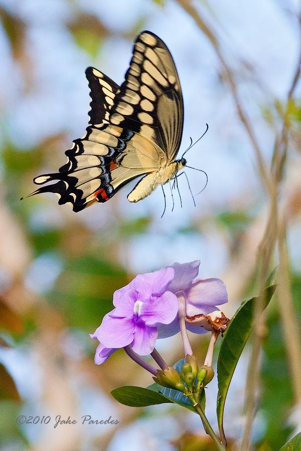 Joaquin Paredes - Giant Swallowtail