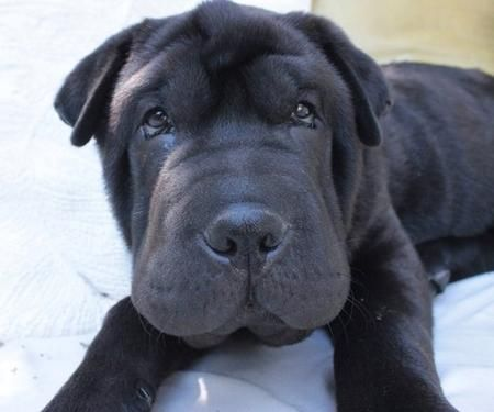 Thompson the shar pei (one of my favorite dogs!)