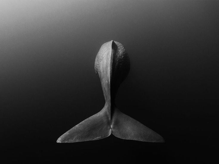 Underwater picture of a sperm whale's tail by Shane Gross via @natgeosociety
