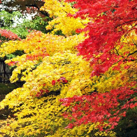 鮮烈な極彩色の紅葉